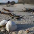 Clam On The Beach — Stock Photo