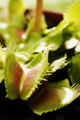 Venus flytrap — Stock Photo