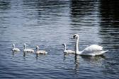 Swan Family — Stockfoto