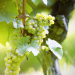 Stock Photo: Ripe white Riesling grapes