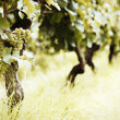Ripe white Riesling grapes — Stock Photo