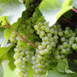 Stock Photo: Ripe white Riesling grapes close-up