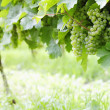 Ripe white Riesling grapes — Foto Stock