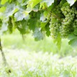 Ripe white Riesling grapes — Stock Photo #27323079