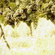 Ripe white Riesling grapes — Photo