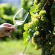 Glass of white Wine (Riesling) and riesling grapes — Stock Photo