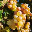 Overripe grapes on old vines — Stock Photo #27324783