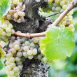 Overripe grapes on old vines — Stock Photo #27324855