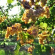 Overripe grapes on old vines — Stock Photo #27325011