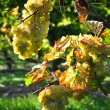 Overripe grapes on old vines — Stockfoto