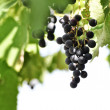 Wine grapes — Stock Photo #27325449