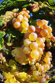 Overripe grapes on old vines — Stock Photo