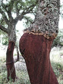 Cork Oak Tree — Stock Photo