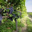 Pinot Noir Grapes in Rheinhessen, Germany — Stock Photo #34839927