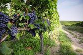 винограда пино нуар в райнэссен, германия — Стоковое фото