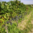 Pinot Noir Grapes in Rheinhessen, Germany — ストック写真
