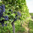 Pinot Noir Grapes in Rheinhessen, Germany — Stock Photo #34841117