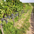 Pinot Noir Grapes in Rheinhessen, Germany — Stock Photo #34843105
