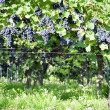 Pinot Noir Grapes in Rheinhessen, Germany — Stock Photo #34846291