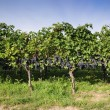 Pinot Noir Grapes in Rheinhessen, Germany — Stock Photo #34846505