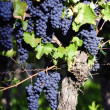 Pinot Noir Grapes in Rheinhessen, Germany — Stock Photo #34848759