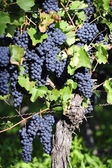 Pinot Noir Grapes in Rheinhessen, Germany — Stock Photo