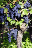 Pinot Noir Grapes in Rheinhessen, Germany — Stock fotografie