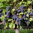 Pinot Noir Grapes in Rheinhessen, Germany — Stock Photo #34852023
