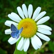 Stock Photo: Blue butterfly siting on camomile