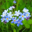 Forget me not — Stock Photo #19011901