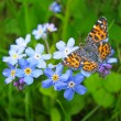 Forget me not flowers and butterfly — Stock Photo #19011957