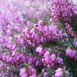 Stock Photo: Heather flowers blossom in august