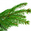 Foto Stock: Fresh green fir branches isolated on white background