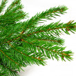 Fresh green fir branches isolated on white background — Foto de Stock