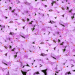 Pink flowers background — Stock Photo #19012299