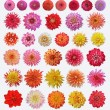 Dahlias — Stock Photo #19012595