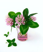 Four leaved clover and clover flowers isolated on white backgrou — Stock Photo