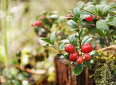 Uncultivated forest cranberries in woods — Stock Photo