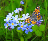 Forget me not flowers and butterfly — Stock Photo