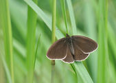Big brown butterfly resting on grass — Stock Photo