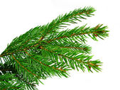Fresh green fir branches isolated on white background — Stock Photo