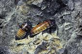 Madagascar hissing Cockroach — Stock Photo