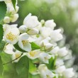 Blooming jasmine bush — Stock Photo #21901083