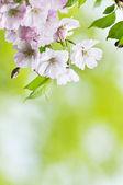 Japanesse sakura blossom — Stock Photo