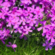 Phlox subulata flowers — Stock Photo
