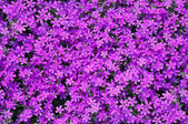 Phlox subulata flowers background — Stock Photo