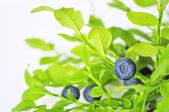 Uncultivated huckleberry — Stock Photo