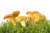 Chanterelles — Stock Photo