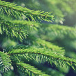 Fir tree branches — Stock Photo #31397159