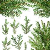 ветви деревьев пихты — Стоковое фото